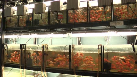 век : VODNANY, CZECH REPUBLIC, SEPTEMBER 20, 2018: goldfish golden carassius auratus in aquarium oxygenated water and white form, laboratory breeding for genofond, ornamental fish, Asia China