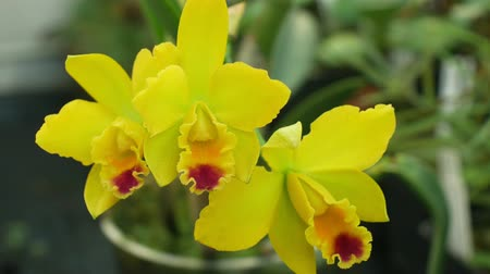kertészeti : Cattleya labiata hybrid yellow orchid the genus, development of many artificial hybrids flowering blooming plant flower, horticultural garden trade, grown in a greenhouse