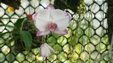 phal : Phalaenopsis moth orchid white pink or Phal, the genus Phalaenopsis bloom plant flower, development of many artificial hybrids, predominantly epiphytic, naturally Asia, grown in a greenhouse Stock Footage