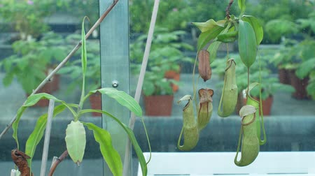 on site research : Nepenthes mirabilis, common swamp pitcher plant, tropical carnivorous plant attracting insects into lure with digestive enzyme-containing fluid, upper pitcher, tropical greenhouse cultivation Stock Footage