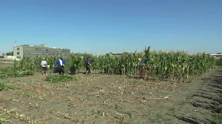 machete : OLOMOUC, CZECH REPUBLIC, SEPTEMBER 2, 2018: Harvesting maize corn manually with a machete in the field with laborers and changers, organic bio farming farm. time lapse