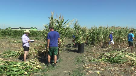 machete : OLOMOUC, CZECH REPUBLIC, SEPTEMBER 2, 2018: Harvesting maize corn manually with a machete in the field with laborers and changers, organic bio farming farm for scientific research purposes, biomass