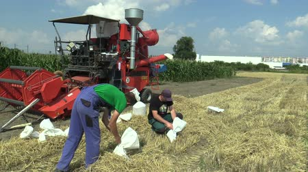expérimentation : OLOMOUC, CZECH REPUBLIC, SEPTEMBER 1, 2018: Sampling for scientific purposes for analysis barley Hordeum vulgare bag and experimentation and development of science new fertilizers Vidéos Libres De Droits