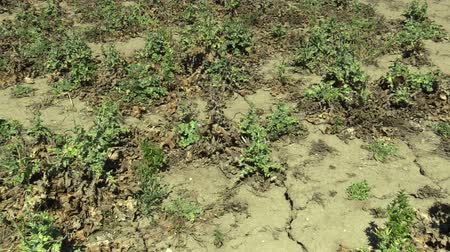 silybum : plant milk thistle cardus marianus very drought dry field land with Silybum marianum drying up the soil cracked, climate change, environmental disaster and earth cracks, death for plants Stock Footage