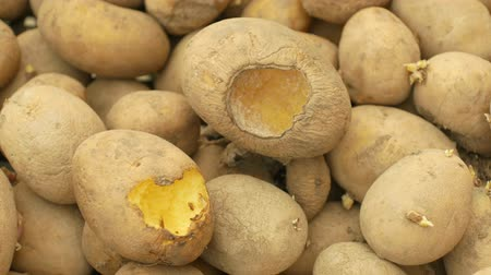 dayanıklılık : Potatoes and potato spoiled and spoilage warehouse mouse and mice bite, pest of stored vegetable food potato, frequent problem in winter necessary deratization, danger of spreading mold, diseases