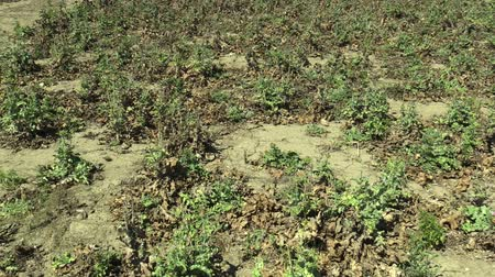 devedikeni : Cardus marianus very drought dry field land with plant milk thistle Silybum marianum drying up the soil cracked, climate change, environmental disaster and earth cracks, death for plants Stok Video