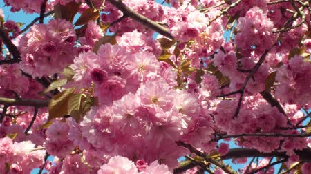 древесный : Hill cherry, oriental cherry ornamental fruit cherry, Prunus serrulata. Japanese fruits Japan called sakuranbo. Gardening horticulture, parks or alleys. East Asian cherry blooming bloom pink