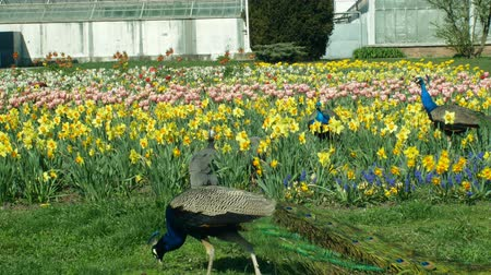 tavuskuşu : Peacock Pavo cristatus and Indian blue peafowl male animal and guinea fowl and helmeted guineafowl Numida meleagris birds ornamental in the park with tulips and daffodils, national bird of India