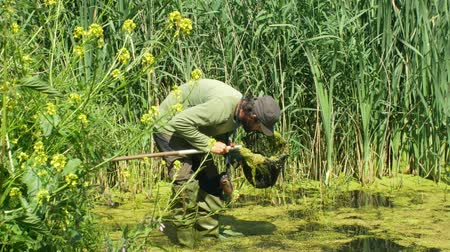 cattail : OLOMOUC, CZECH REPUBLIC, MAY 30, 2019: Zoologist man in capturing or snagging amphibians for monitoring endangered species frogs, special net landing net. Rubber boots into water