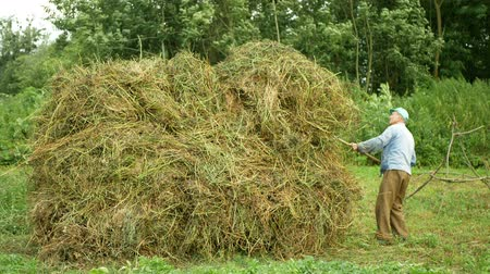 yem : OLOMOUC, CZECH REPUBLIC, JULY 20, 2019: Old man creates a haystacks alfalfa and hayloft using pitchfork stack, hay on a field traditional farm work, highland grassland, lucerne plant Stok Video