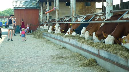 széna : OLOMOUC, CZECH REPUBLIC, JUNE 11, 2019: Cows on organic farm farming, feed hay grass silage pets, dairy cows, Czech honor Fleckvieh breed, dairy cattle breeds, cowshed feeding, children baby carriage, Stock mozgókép