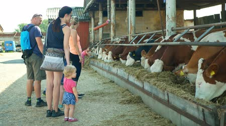 OLOMOUC, CZECH REPUBLIC, JUNE 11, 2019: Cows on organic farm farming, children baby carriage, feed hay grass silage pets, dairy cows, Czech honor Fleckvieh breed, dairy cattle breeds, cowshed feeding
