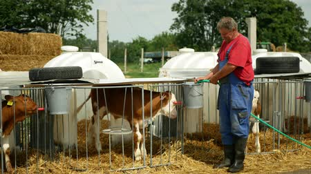 breeder : OLOMOUC, CZECH REPUBLIC, JUNE 11, 2019: Calf cow in cage and zootechnics breeder caring on bio farm farming, feed milk and sucks water pets, dairy cattle breeds, cowshed feeding, Fleckvieh breed