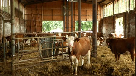 OLOMOUC, CZECH REPUBLIC, JUNE 11, 2019: Cows on organic farm farming, feed hay grass silage pets, dairy cows, dairy cattle breeds, cowshed feeding, Fleckvieh breed, genetic defect of eye sick