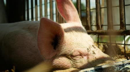 čeština : Sow of domestic pig Sus domesticus swine sleeps, hog in a cage profile close-up or detail pink, breeding on bio organic farm, traditional farming for quality pork, trough of food Dostupné videozáznamy