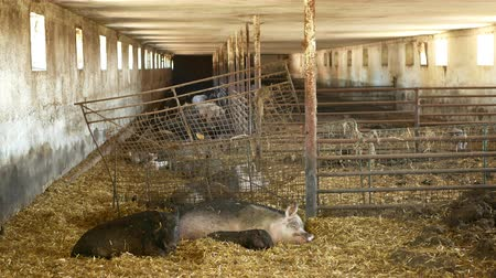 omnivore : Sow and piglets of domestic pig Sus scrofa domesticus swine, hog in a cote straw profile pink and black, breeding on bio organic farm, boar farming pork, village countryside, meat livestock