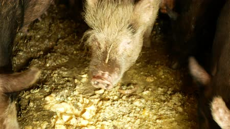 contorno : Feeding food eating pigs sow and of domestic pig Sus scrofa domesticus swine, hog in a cote straw profile pink and black piglets eat, breeding boar on bio organic farm, livestock farming pork Stock Footage