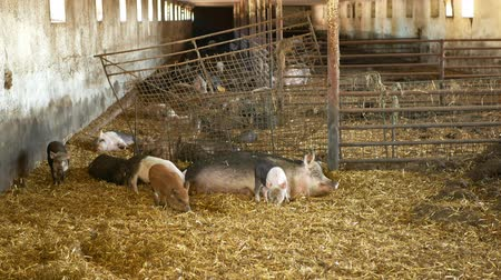 čeština : Sow and piglets of domestic pig Sus scrofa domesticus swine, hog in a cote straw profile pink and black, breeding on bio organic farm, boar farming pork, village countryside, meat livestock
