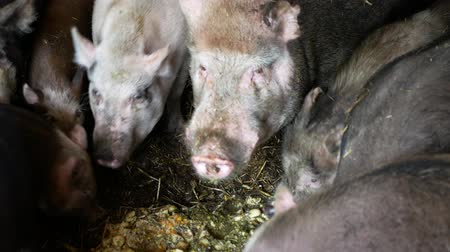 sow : Feeding food eating pigs sow and of domestic pig Sus scrofa domesticus swine, hog in a cote straw profile pink and black piglets eat, breeding boar on bio organic farm, livestock farming pork Stock Footage