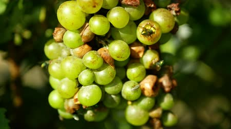 carrion : Ripe grapes and ripeness in viticulture, white wine and common green bottle fly Lucilia sericata blowfly or blow flies insect. Overripe fruits with green and blue flies, agriculture and harvest fruit