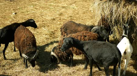 Ouessant or Ushant sheep breed of domestic Ovis aries rams. Farming bio organic ecological farm cattle livestock meadow. Sheeps amaintain tandscape grazing, feeding feeder hay straw