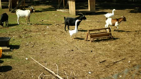 feeder : Domestic goat breed boer africa, pygmy. Farming bio organic ecological farm. Goats are used landscape grazing, goose grass, Cameroon dwarf, Capra Aegagrus Hircus Villages Europe graze lands