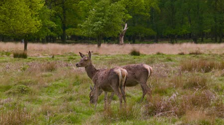 richmond park : Deers at lunchtime Stock Footage