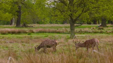 richmond park : Red Deers searching on grass