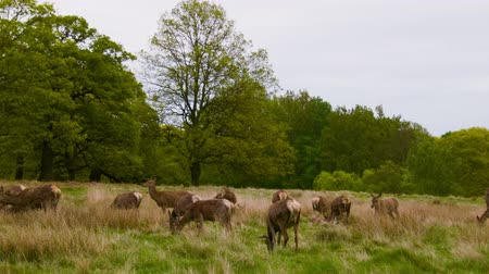 richmond park : Red Deers in Richmond Park Stock Footage