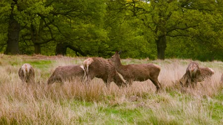 richmond park : Red Deers on a peaceful day afternoon Stock Footage