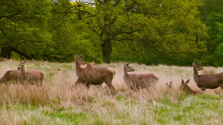 richmond park : Red Deers watching in the field Stock Footage
