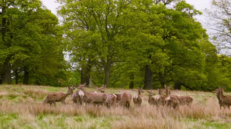 richmond park : Deers on the open field