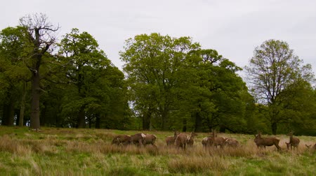 richmond park : Red Deers on the open field Stock Footage