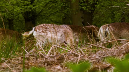 richmond : Fallow Deer found something interesting Stock Footage