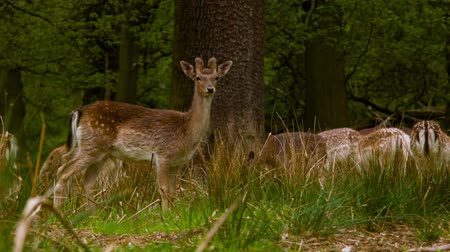 richmond park : Fallow Deers at a peaceful afternoon