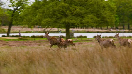 richmond park : Red Deers running to their friends Stock Footage
