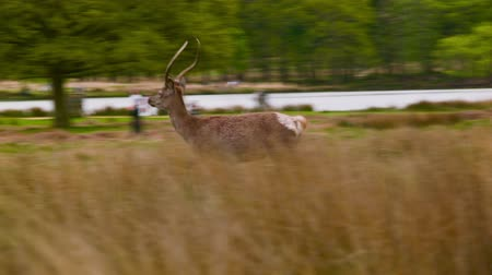 richmond park : Red Deer runs to have a gain on the others