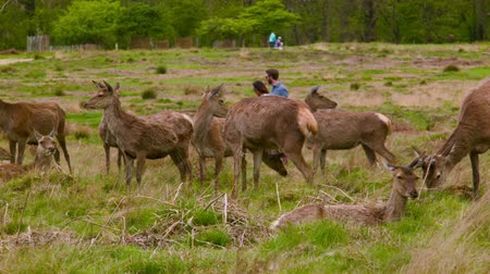 richmond park : Red Deers between curious people Stock Footage