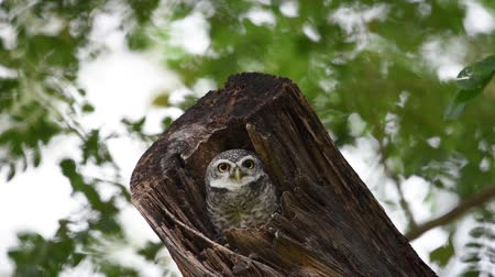 sowa : Baby owl looking for something in the wood hollow Wideo