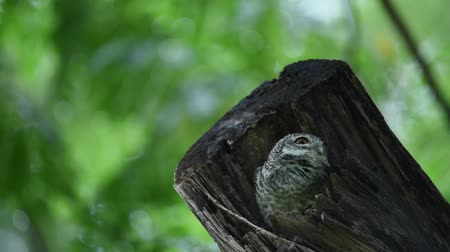 sowa : Baby owl looking for something in the wood nest with green blurred background Wideo