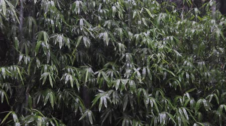 bamboo forest : tropical rain in asian rain forest