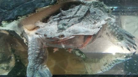 northen : freshwater exotic turtles Matamata