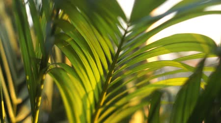 kapradina : Leaves of the tropical tree Moving along the wind in the evening.