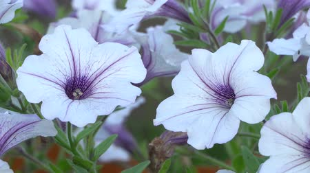 장식 정원 : White and purple striped petunia flowers in the wind. Garden flowers beautiful close-up.