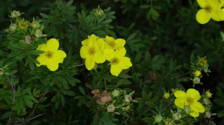 nasiona : Blossom of the yellow flowers close-up. Bush with flowers moving in the wind. Botany, gardening background. Wideo