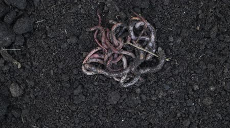 lombrico : Heap of earthworms moving on the soil. Fertilize the soil, good for crops. Agriculture and fishing.