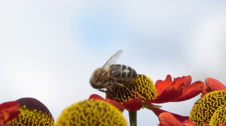 százszorszép : Bee collecting nectar from a red flower on a blury gray backround. Close-up footage.