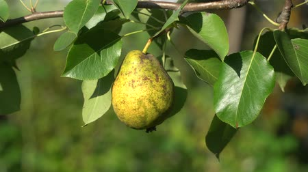 pereira : Ripe organic pear on a tree on a windy day, close-up of yellow fruit and green leaves. Vídeos