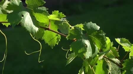 wijnbladeren : Grapevine with leaves on a sunny day close-up. Farming and winery footage. Stockvideo