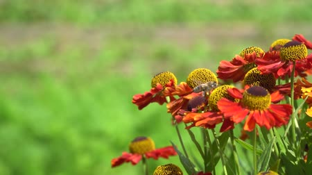 ネクター : Bees fly around orange flowers collecting nectar. Close-up in slow motion. 動画素材